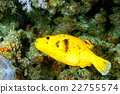 yellow Puffer fish diving indonesia close up 22755574