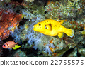 yellow Puffer fish diving indonesia close up 22755575