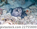 giant blackparsnip stingray fish during night dive 22755600