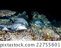 giant blackparsnip stingray fish during night dive 22755601