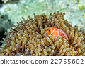 Clown fish inside red anemone in Maldives 22755602