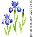 붓꽃 수채화 일러스트 22755845
