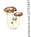 杏鮑菇 蘑菇 水彩畫 22755847
