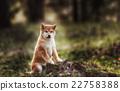 Beautiful Young Red Shiba Inu Puppy Dog 22758388