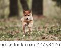 Beautiful Young Red Shiba Inu Puppy Dog 22758426
