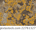 Vintage old wall surface covered with yellow moss. 22761327