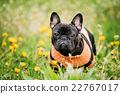Young Black French Bulldog Dog In Green Grass 22767017