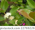 This white flower is a tropical fruit flower flower flower 22769226