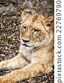Barbary lioness portrait - Panthera leo leo 22769790