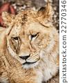 Barbary lioness portrait - Panthera leo leo 22770346
