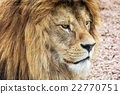 Barbary lion portrait - Panthera leo leo 22770751