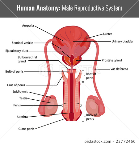 Male reproductive system detailed anatomy. - Stock Illustration ...