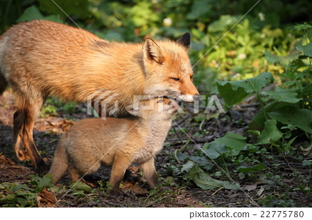 A child foxed by a mother fox 22775780