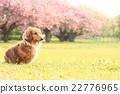 狗 迷你臘腸犬 玩具狗 22776965