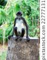 Spider monkey 22777131