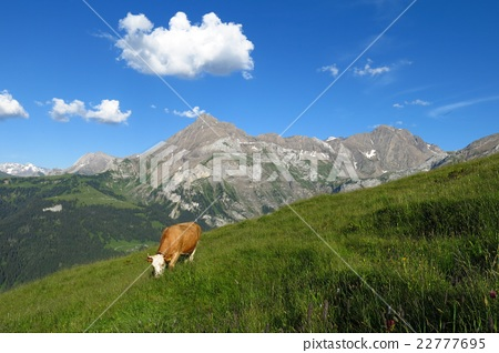 Grazing cow and Mt Spitzhorn 22777695