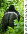 gorilla 22789201