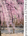 yuuki shrine, flowers, weeping plum 22794853