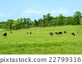 cow, cattle, cows 22799316