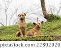 Two dogs in farm 22802920