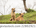 Two dogs in farm 22802921