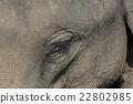 Asian elephant eye 22802985