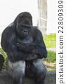 動物 西部低地大猩猩 東山動植物園 22809309