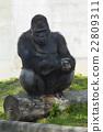 動物 西部低地大猩猩 東山動植物園 22809311