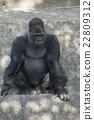 動物 西部低地大猩猩 東山動植物園 22809312