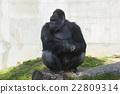 動物 西部低地大猩猩 東山動植物園 22809314