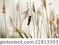 Great reed warbler ( Acrocephalus arundinaceus)  22813303
