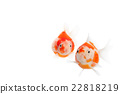 金魚 觀賞魚類 游泳 22818219