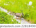 wild, bird, spot-billed 22818490