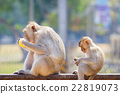 mother and baby monkey eating fresh corn  22819073