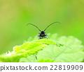 딱정벌레목, 외래종, 도입종 22819909