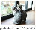 猫咪 猫 波斯猫 22820419