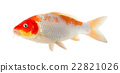 Koi fish isolated on the white background 22821026