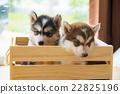 Siberian husky puppy 22825196