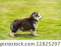 Siberian husky puppy 22825207