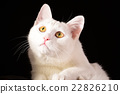 White cat looking up closeup on black background 22826210