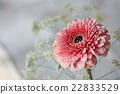 非洲菊 花朵 花卉 22833529