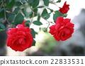 玫瑰 玫瑰花 蔷薇 22833531