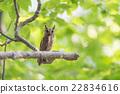 貓頭鷹 動物 歐亞混血角鴞 22834616