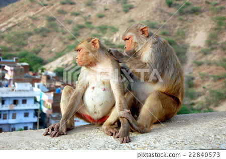 Two monkeys in Jaipur, India  22840573