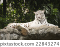 White tiger rest on the rock 22843274