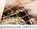 swallows, hirundo, nest 22845412
