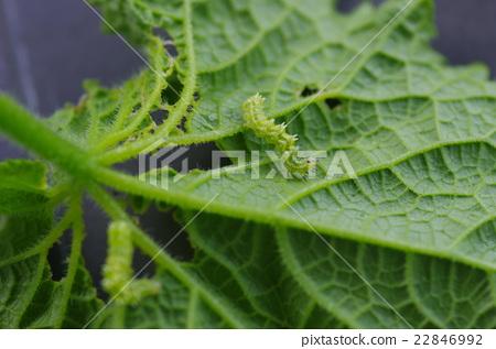 텃밭의 오이 잎 식충하는 가시 투성이에 밝은 녹색 애벌레 우리킨우와바 유충 22846992