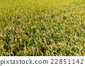 field, farm, rice 22851142