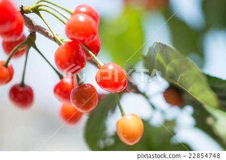 제철 과일 새콤 달콤한 체리 조류에 먹을 전에 서둘러 수확 22854748