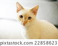 猫咪 白猫 安慰 22858623